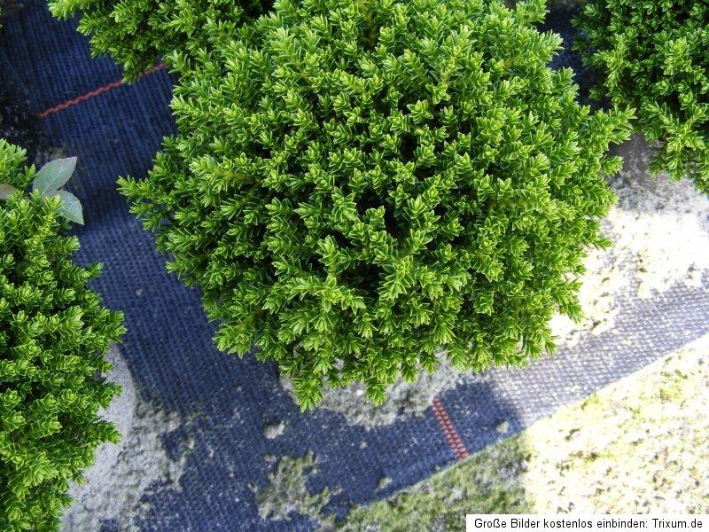 400 bodendecker hebe green globe 11cmtopf 1 palette der pflanzenprofi aus ostfriesland. Black Bedroom Furniture Sets. Home Design Ideas