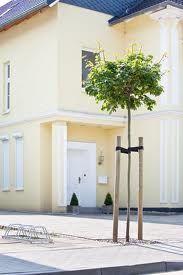 kugelahorn acer plat globosum 220cm krone c50 der. Black Bedroom Furniture Sets. Home Design Ideas