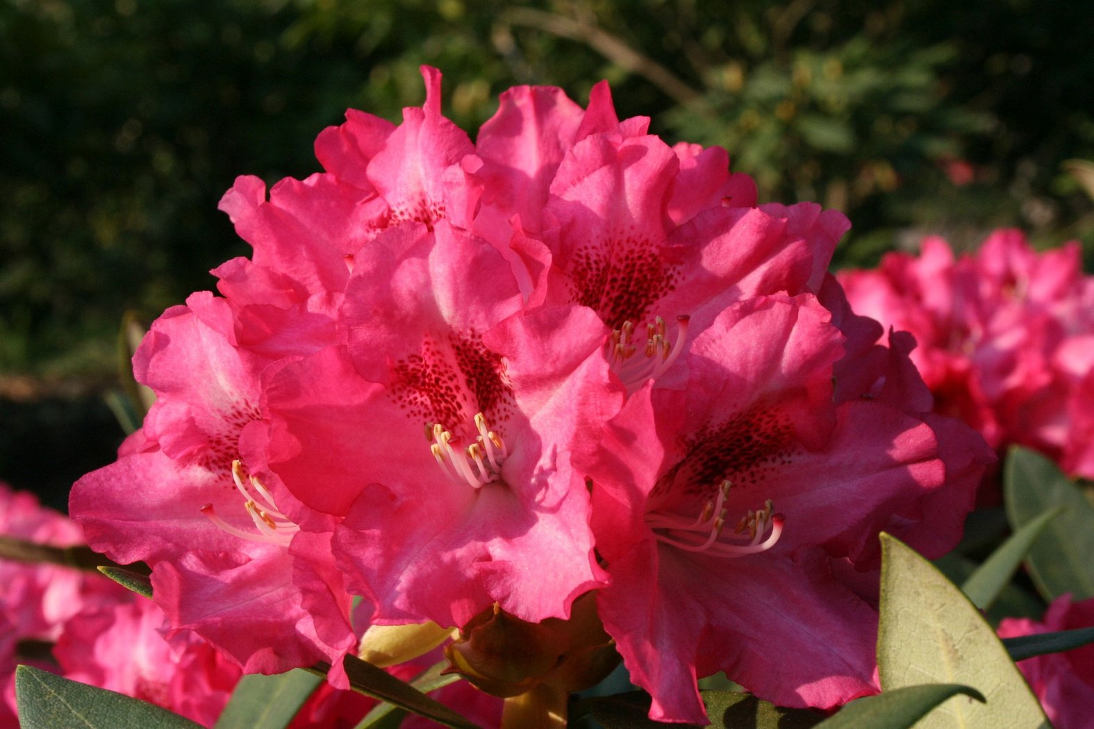 rhododendron yakushimanum sneezy rot 40 50cm der. Black Bedroom Furniture Sets. Home Design Ideas