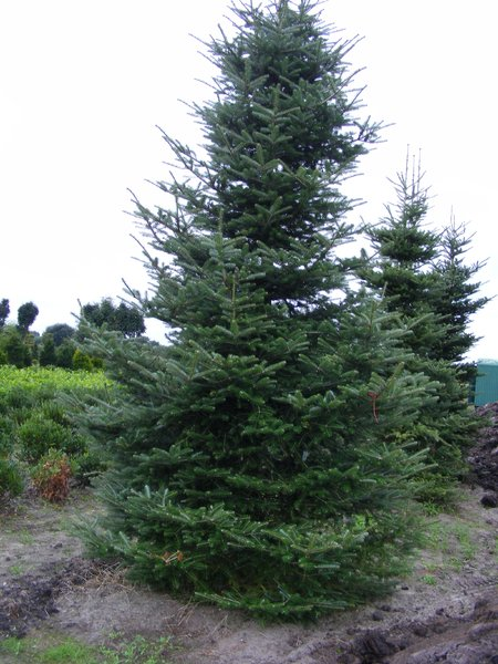 Koreatanne Abies Koreana 400cm