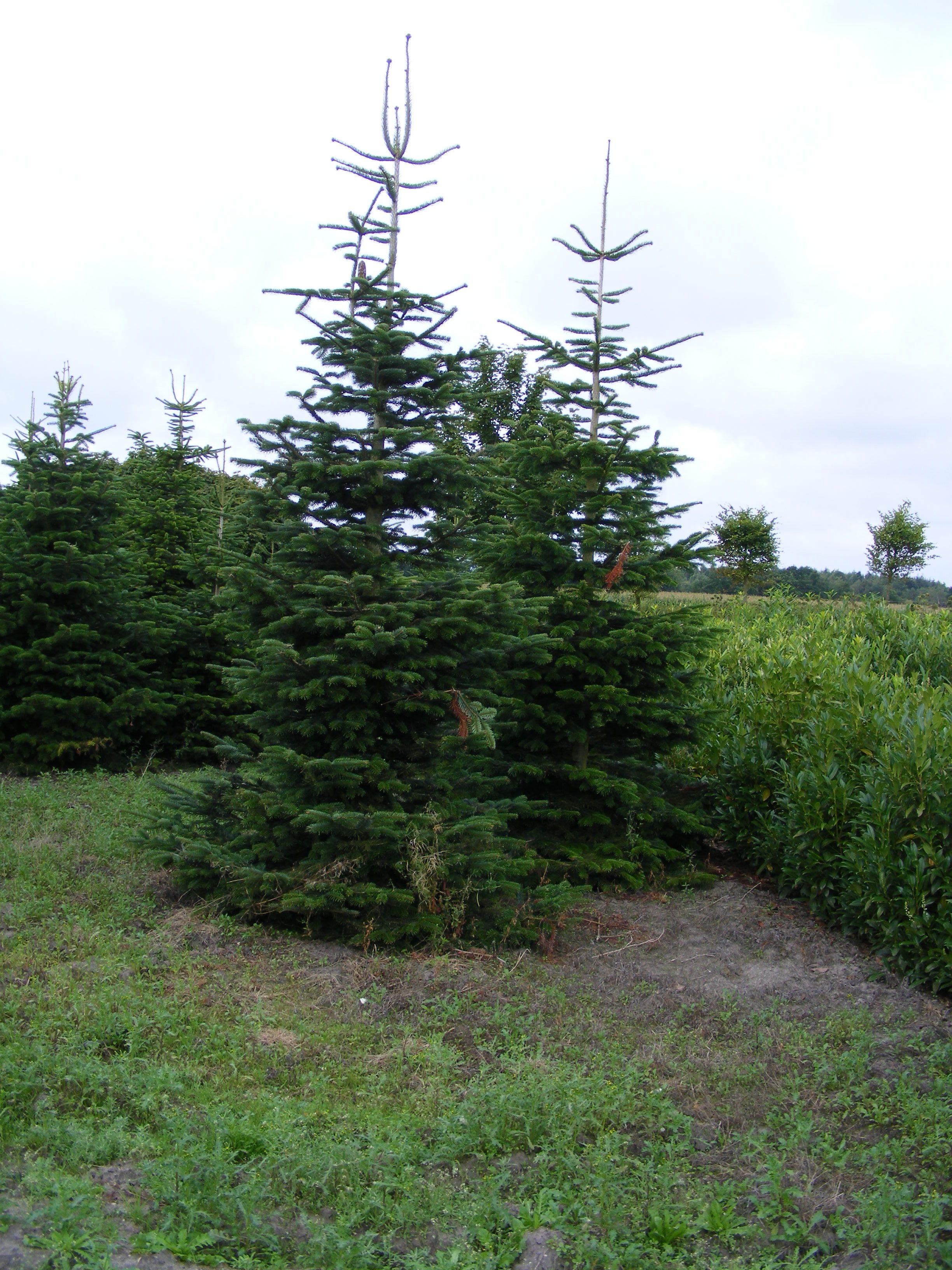 Nordmanntanne 300cm Abies Nordmannia Der Pflanzenprofi Aus