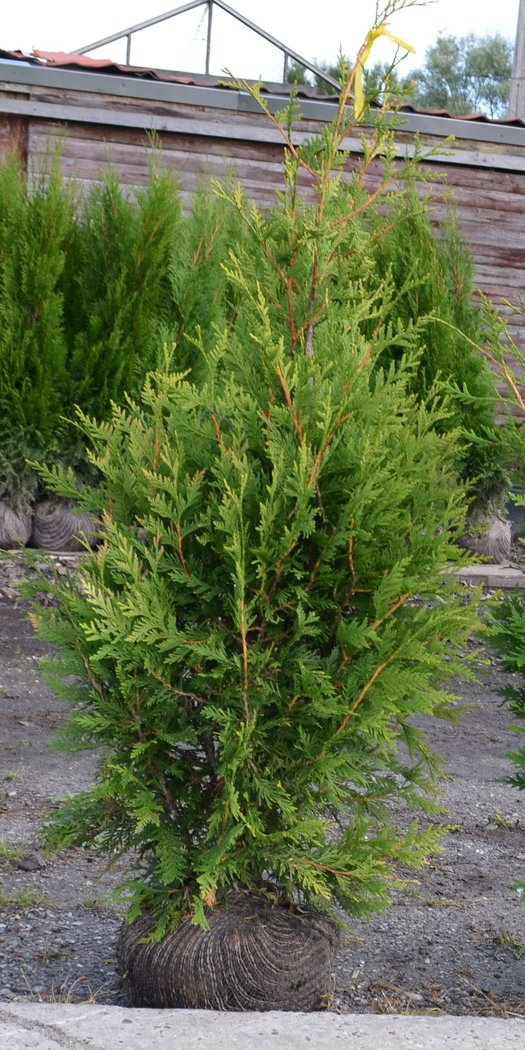 thuja plicata aurescens 100 120cm balliert goldspitzthuja. Black Bedroom Furniture Sets. Home Design Ideas