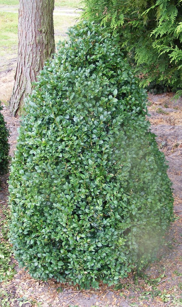 buchsbaum kegel 100cm hoch der pflanzenprofi aus. Black Bedroom Furniture Sets. Home Design Ideas