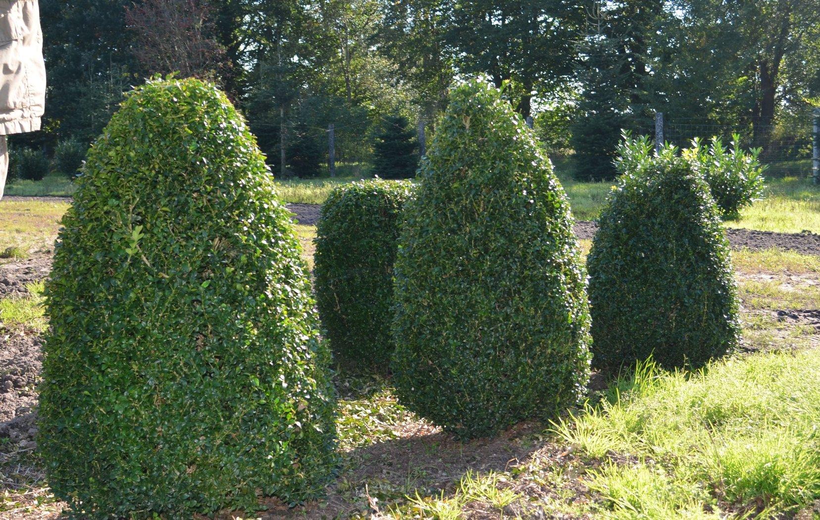 buchsbaum kegel 100cm hoch der pflanzenprofi aus ostfriesland. Black Bedroom Furniture Sets. Home Design Ideas