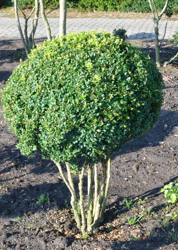 buchsbaum pilz schirmform 120 140cm der pflanzenprofi aus ostfriesland. Black Bedroom Furniture Sets. Home Design Ideas