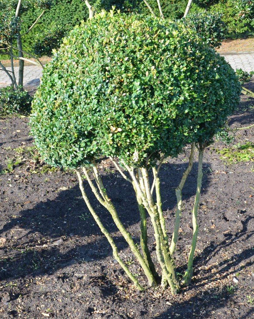buchsbaum pilz der buchsbaum ist krank bad s ckingen. Black Bedroom Furniture Sets. Home Design Ideas