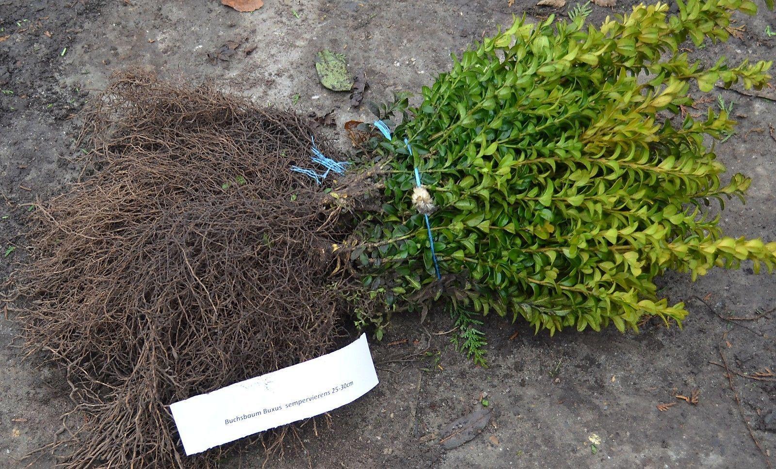 350 sehr buschige buchsbaumpflanzen 25 30cm wurzelnackt inklusive palettenversand der. Black Bedroom Furniture Sets. Home Design Ideas