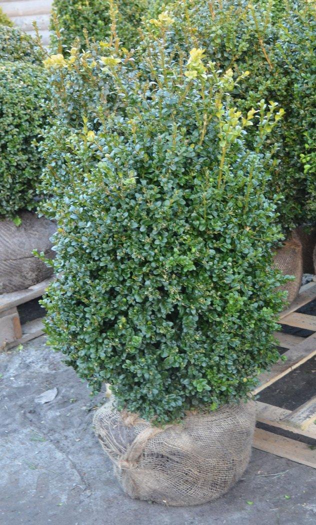 buchsbaum buxus semp aborescens 90 100cm hoch 60 65cm. Black Bedroom Furniture Sets. Home Design Ideas