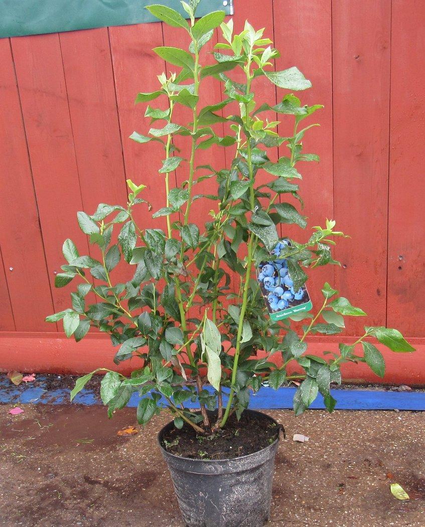 heidelbeerpflanze vaccinium blue crop im 5l topf h he ca 70 80cm der pflanzenprofi aus. Black Bedroom Furniture Sets. Home Design Ideas
