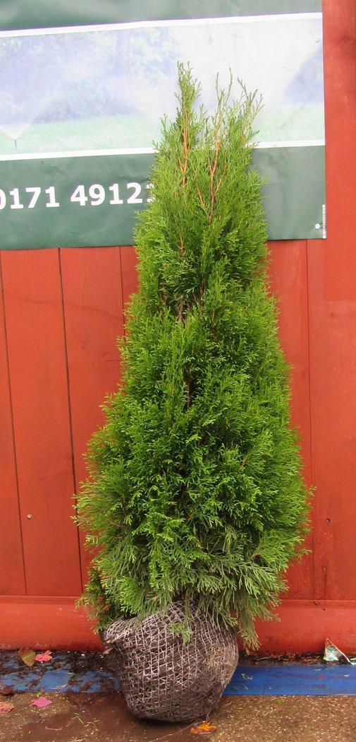 8 thuja smaragd edelthuja 120cm hoch kompakte pflanzen. Black Bedroom Furniture Sets. Home Design Ideas