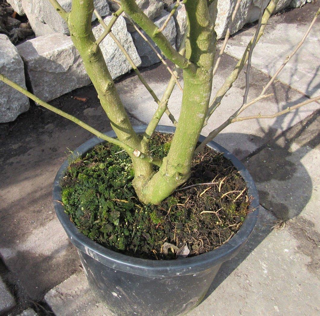 3 gro e und buschige magnolien 140 160cm bl hfolge weiss. Black Bedroom Furniture Sets. Home Design Ideas