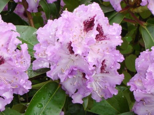 "Rhododendron 40-50 cm ""Blue Peter"", Abholpreis"