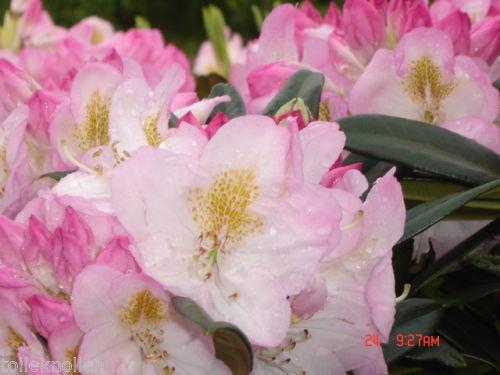 2 Stück Rhododendron Brigitte 60 70cm Inklusive Versand Der