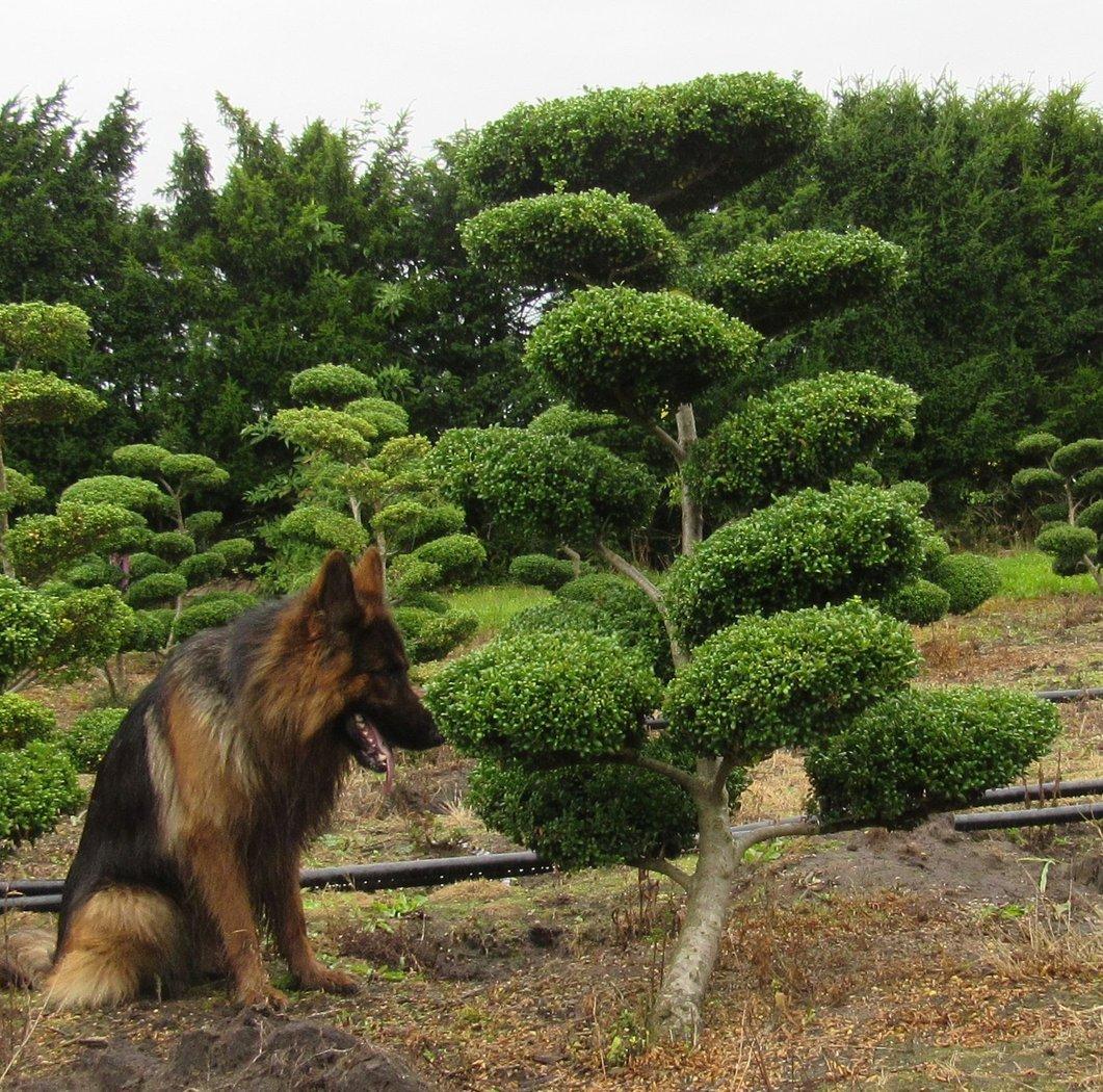 L ffel ilex als bonsai ilex crenata convexa h 125 150 cm for Bonsai versand