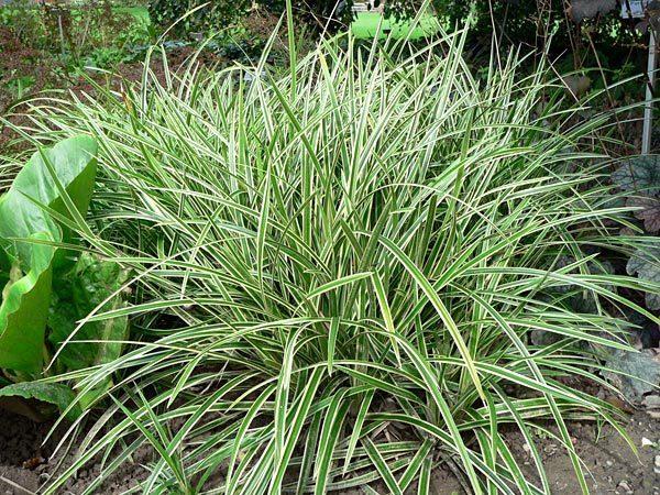 Carex foliosissima
