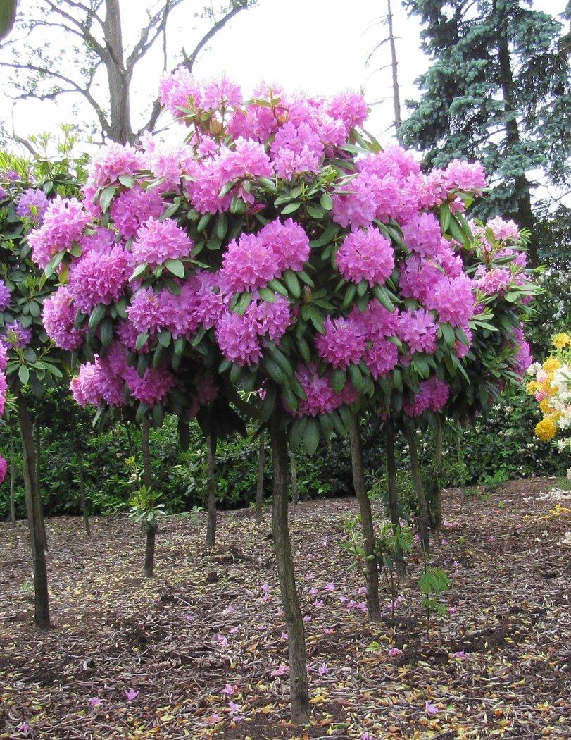 rhododendron als hochstamm roseum elegans 230 260cm. Black Bedroom Furniture Sets. Home Design Ideas