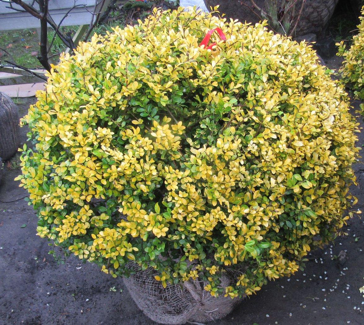 goldilex ilex crenata golden gem als kugel h he 70 80 cm abholpreis der pflanzenprofi aus. Black Bedroom Furniture Sets. Home Design Ideas