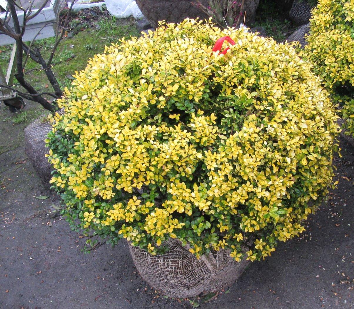 Goldilex, Ilex crenata golden gem als Kugel, Höhe 70-80 cm ...