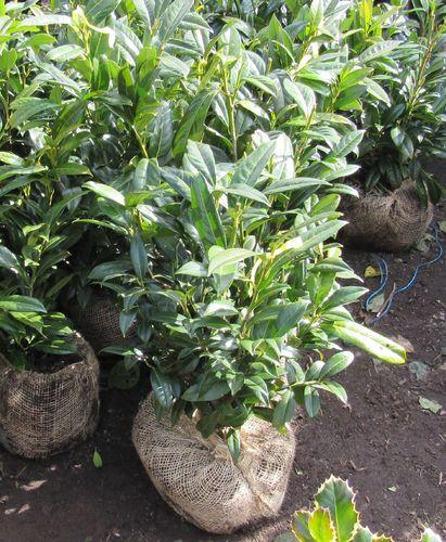 kirschlorbeer herbergii 50 60cm hoch abholpreis der pflanzenprofi aus ostfriesland. Black Bedroom Furniture Sets. Home Design Ideas