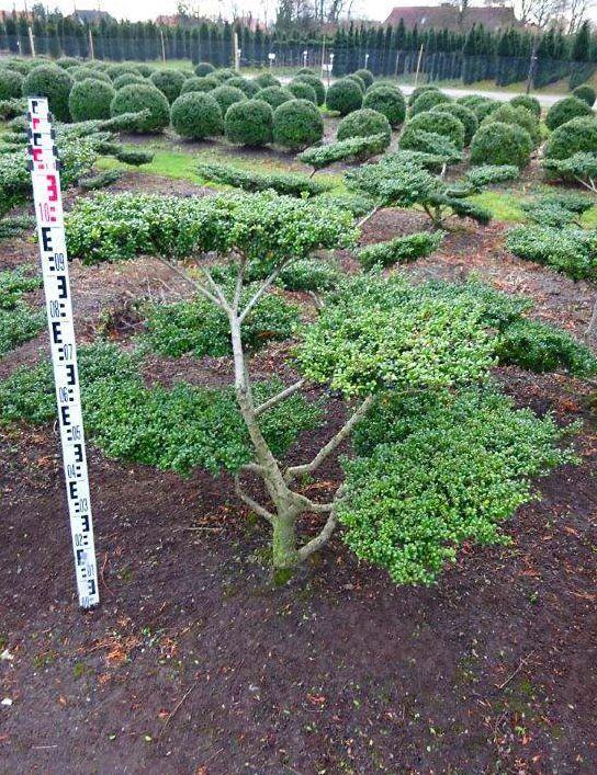 Ilex crenata convexa als bonsai 5xv b 80 100cm h 80 for Bonsai versand