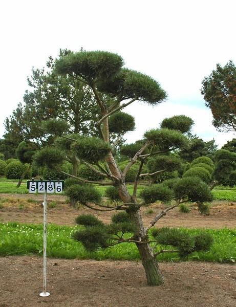 Pinus sylvestris als bonsai 6xv b 150 200 cm h 175 200 for Bonsai versand
