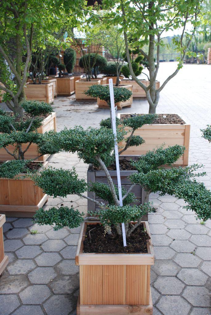 Ilex crenata convexa als bonsai 5xv b 100 125cm h 60 for Bonsai versand
