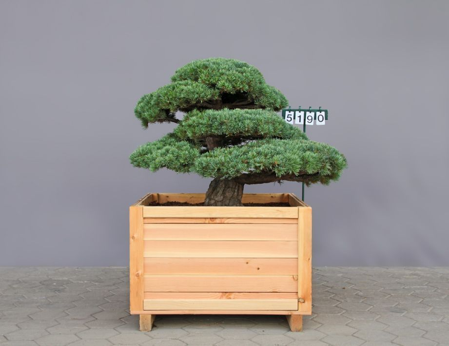 Pinus parviflora pentaphylla als bonsai 4xv b 125 150 for Bonsai versand