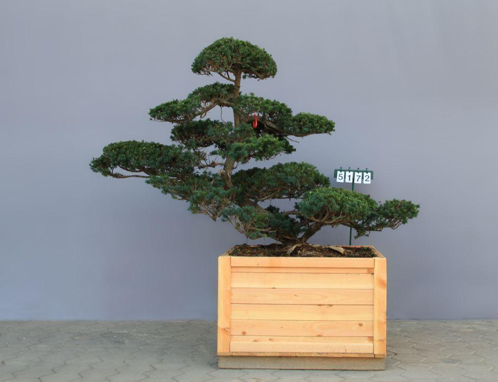Japanische eiben taxus cuspidata der pflanzenprofi aus for Bonsai versand