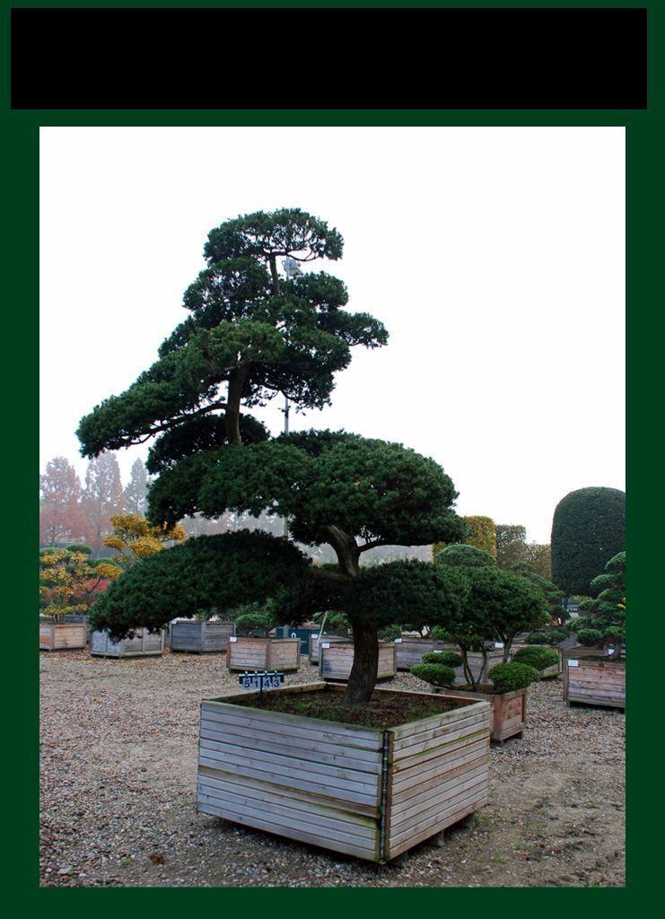 Taxus cuspidata als bonsai 8xv b 300 350 cm h 300 350 for Bonsai versand