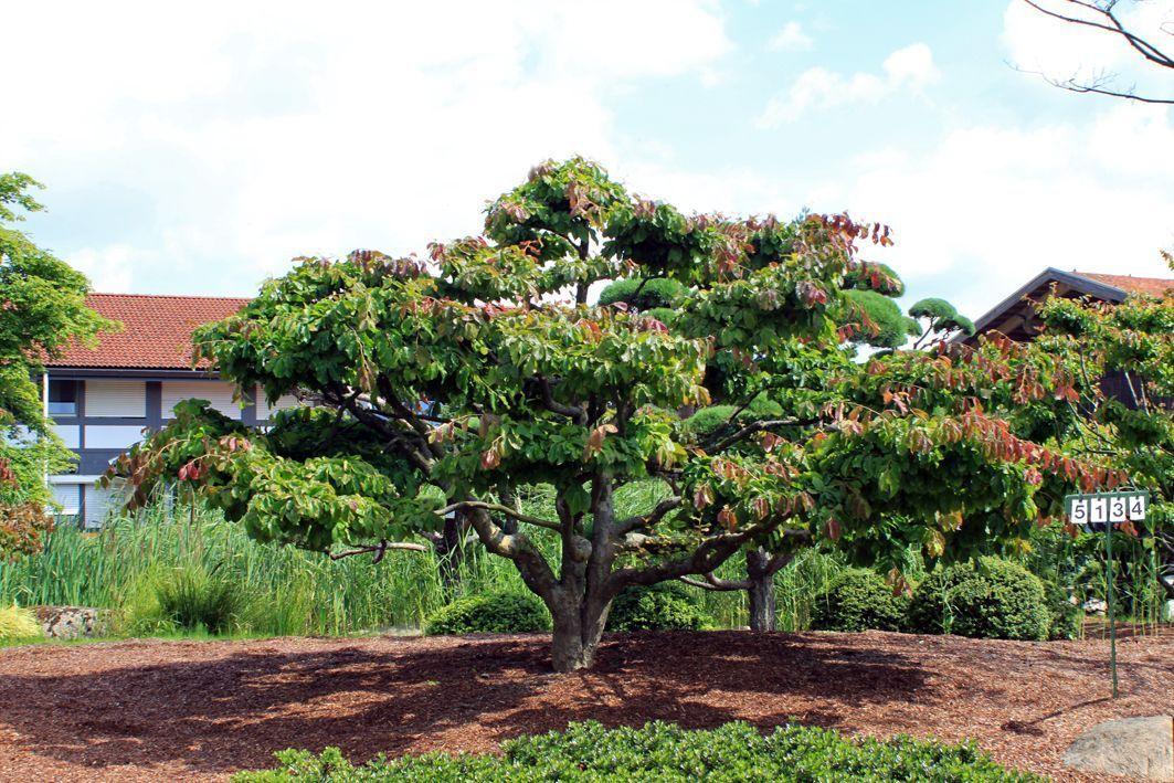 Parrotia persica als bonsai b 400 500 cm h 250 300 cm for Bonsai versand