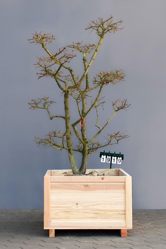 Acer campestre als bonsai 4xv b 125 150 cm h 175 200 for Bonsai versand