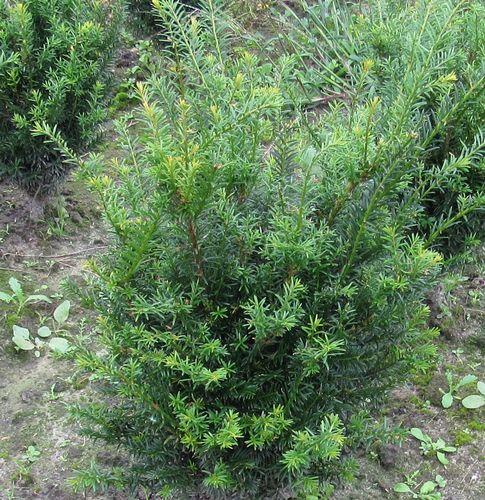 Heckenpflanzen - Der Pflanzenprofi