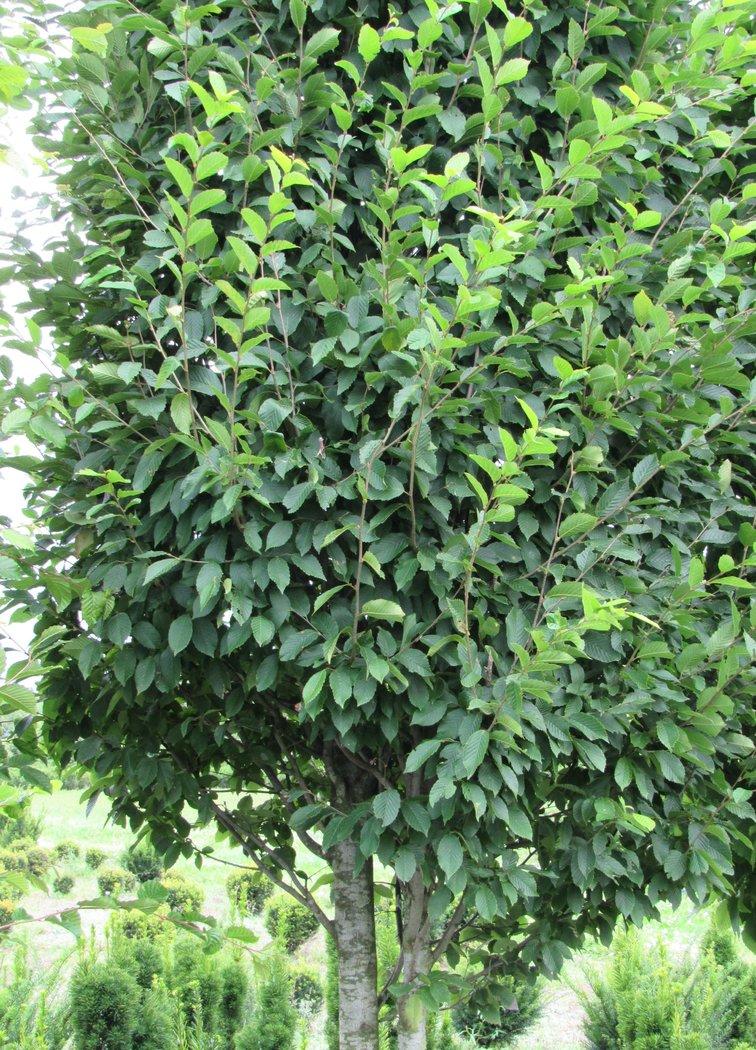 solit re s ulenhainbuche als hochstamm 400cm carpinus betulus fastigiata der pflanzenprofi. Black Bedroom Furniture Sets. Home Design Ideas