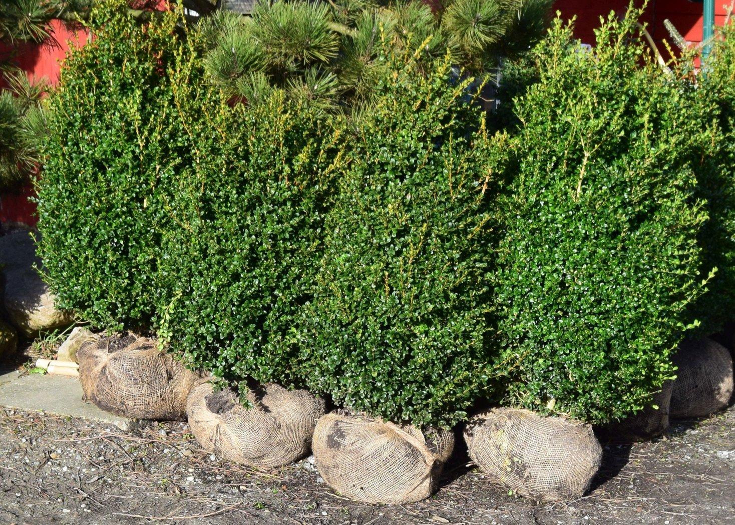 buchsbaum microphylla japonica h he 100 120cm der pflanzenprofi aus ostfriesland. Black Bedroom Furniture Sets. Home Design Ideas