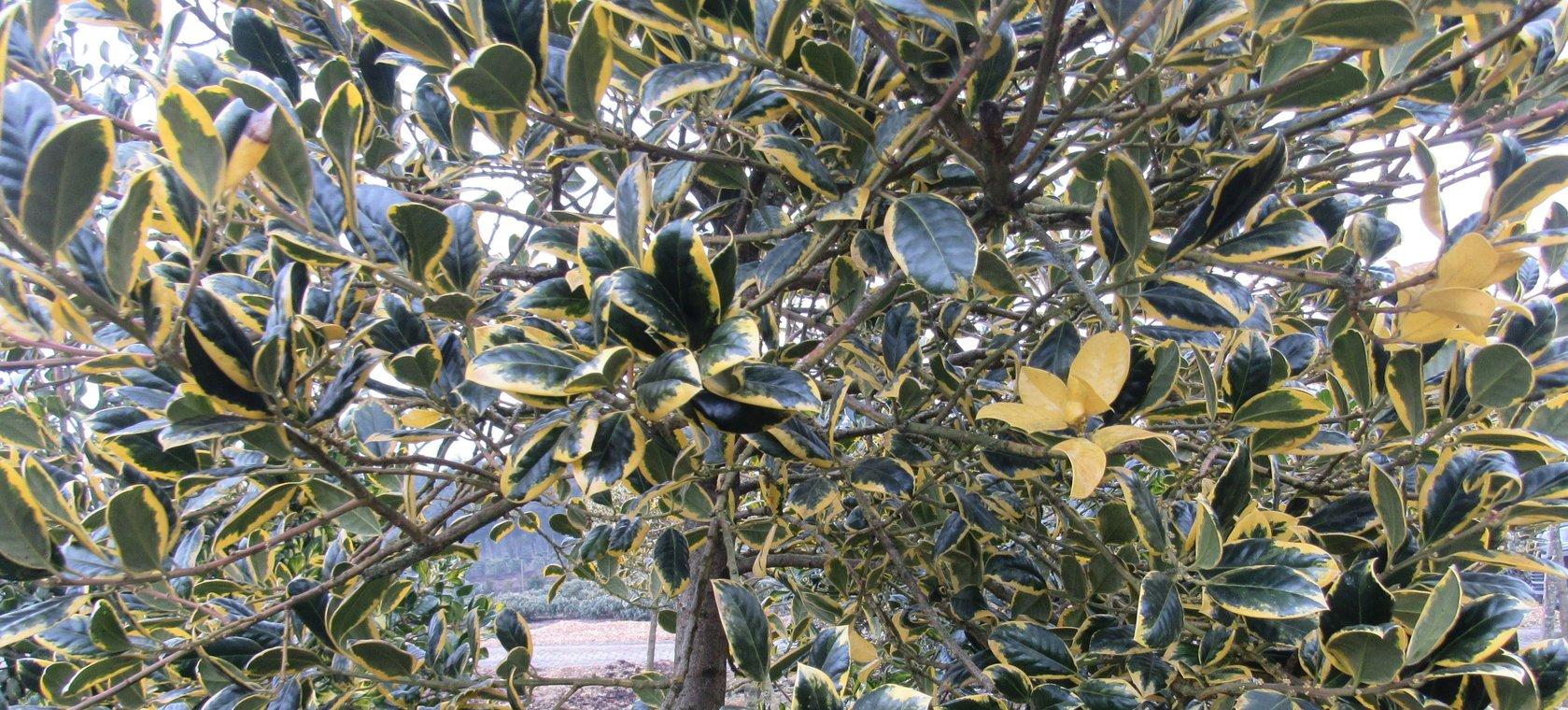 Ilex Hochstamm Gelbbunte Stechpalme 190 220cm Der Pflanzenprofi
