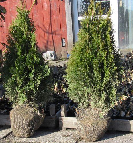 heckenpflanzen der pflanzenprofi aus ostfriesland. Black Bedroom Furniture Sets. Home Design Ideas