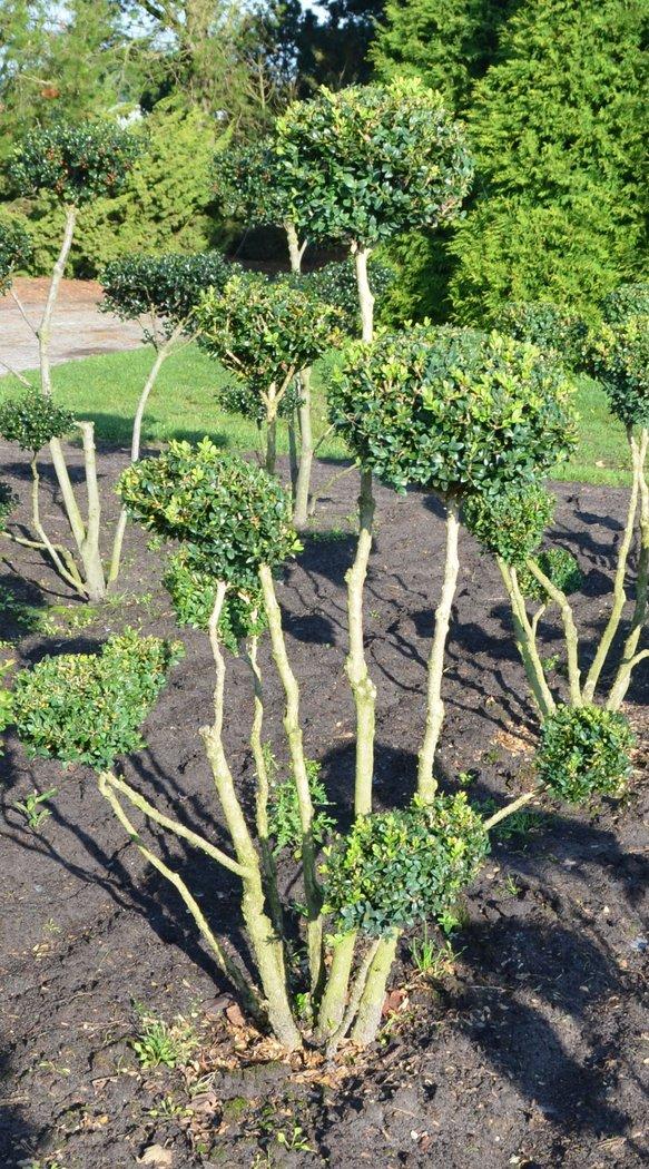 buxus buchsbaum der pflanzenprofi aus ostfriesland. Black Bedroom Furniture Sets. Home Design Ideas
