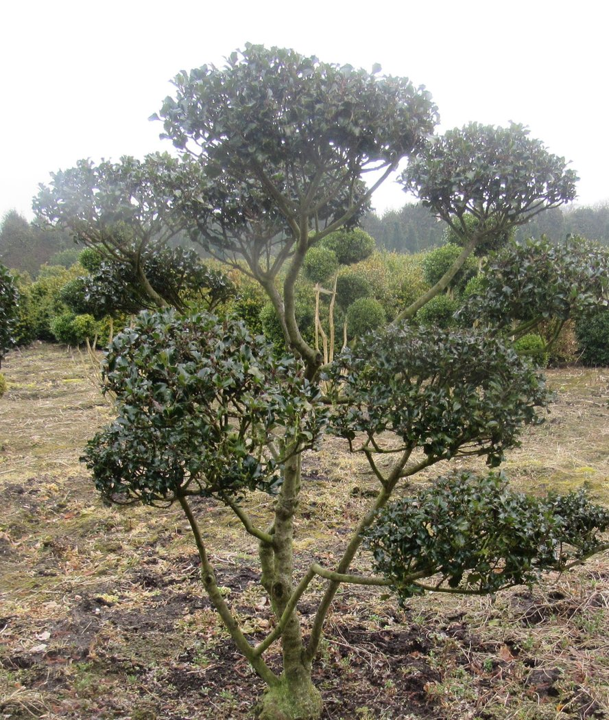 Ilex Blue Princess als Bonsai 150-170cm hoch