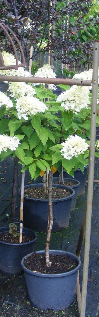 hochstamm hortensie hydrangea paniculata grandiflorum im 10 liter topf der pflanzenprofi aus. Black Bedroom Furniture Sets. Home Design Ideas