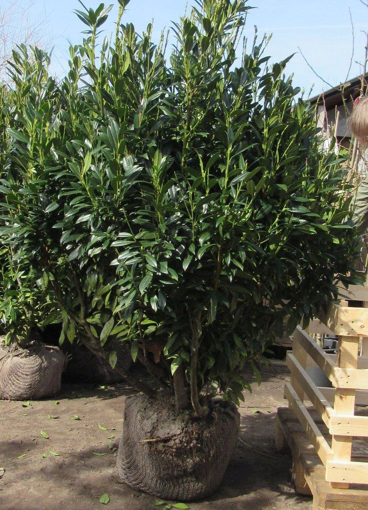kirschlorbeer prunus ivonne 140 150 cm hoch 100 cm breit der pflanzenprofi aus ostfriesland. Black Bedroom Furniture Sets. Home Design Ideas