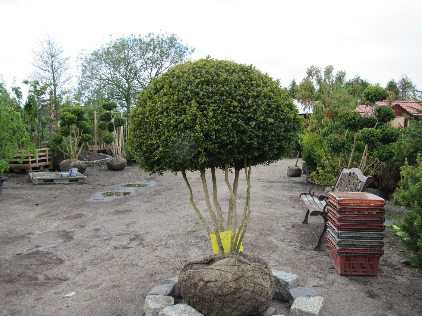 Wei holziger buchsbaum sempervirens arborescens als formschnitt pilz pilz nr 1 der - Buchsbaum formschnitt ...
