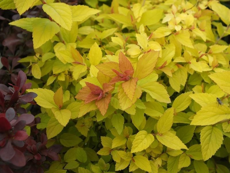 "Goldgelbe Zwergspiere Spirea ""Golden Princess"""