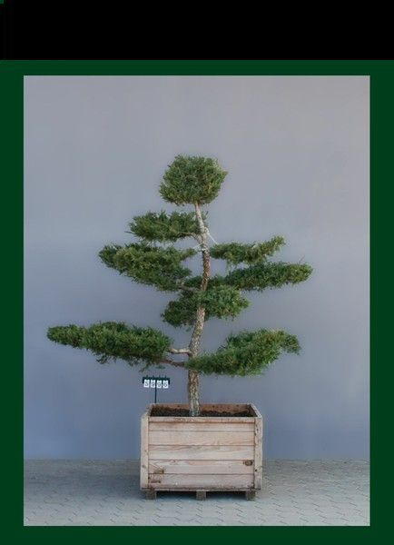 "Juniperus media ""Hetzii"" als Bonsai,7xv., B 200-250, H 250-275"