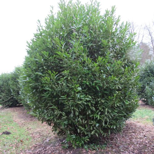 Prächtig Solitärer Kirschlorbeer Prunus Herbergii 270-300cm hoch, 180-210cm #PI_86
