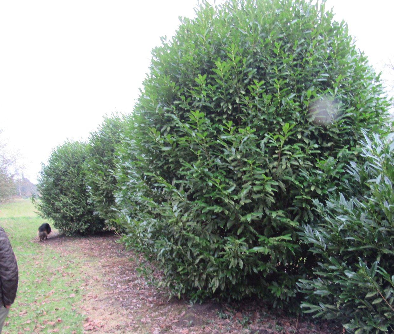Fabelhaft Solitärer Kirschlorbeer Prunus Herbergii 270-300cm hoch, 180-210cm #TH_57