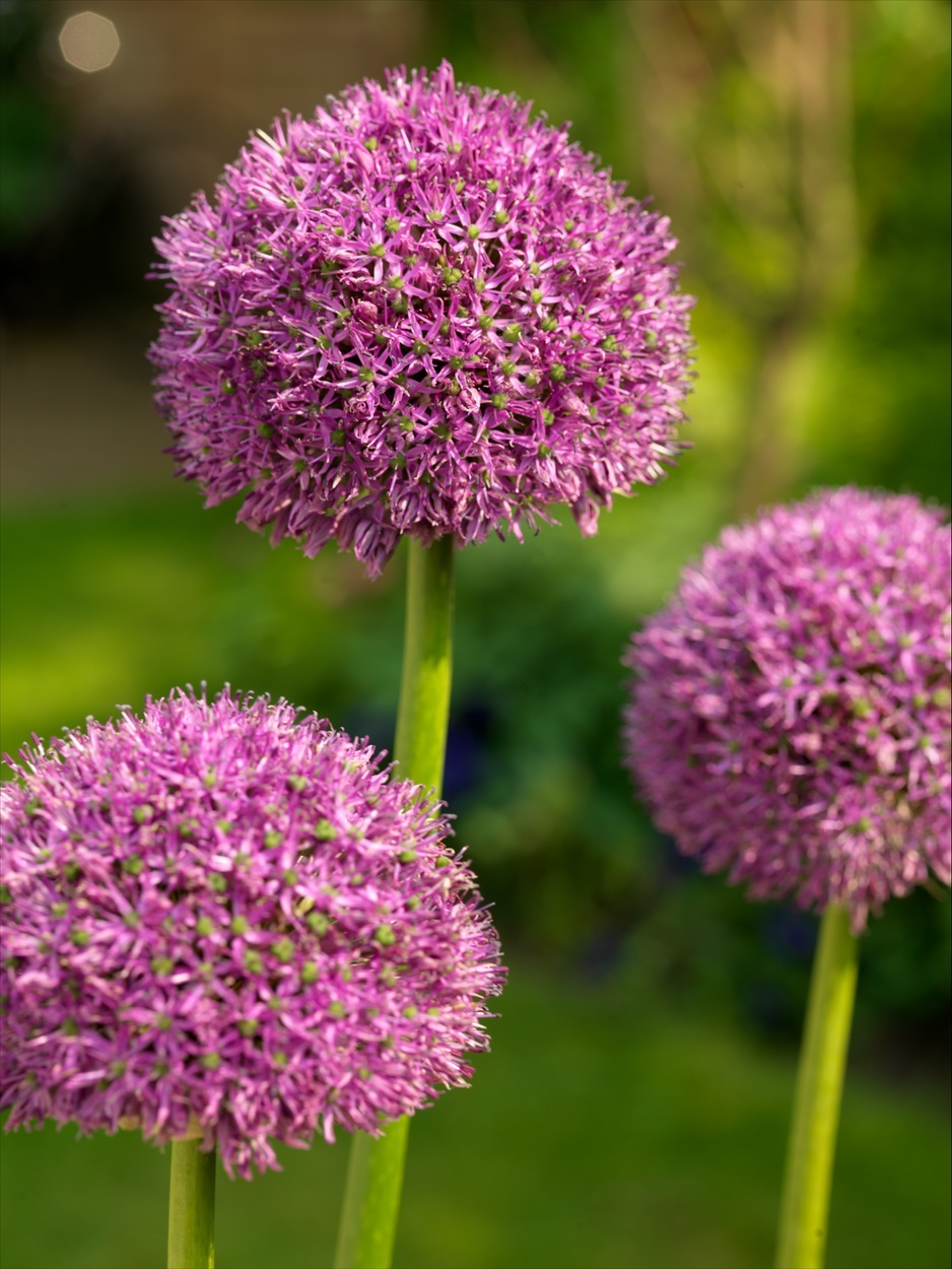 allium-purple-suze